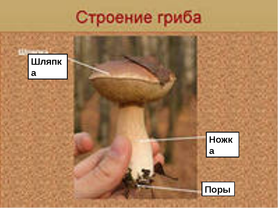Шляпка Ножка Поры FokinaLida.75@mail.ru