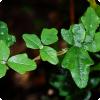 Какое растение может копировать листья многих других растений на одном и том же побеге?