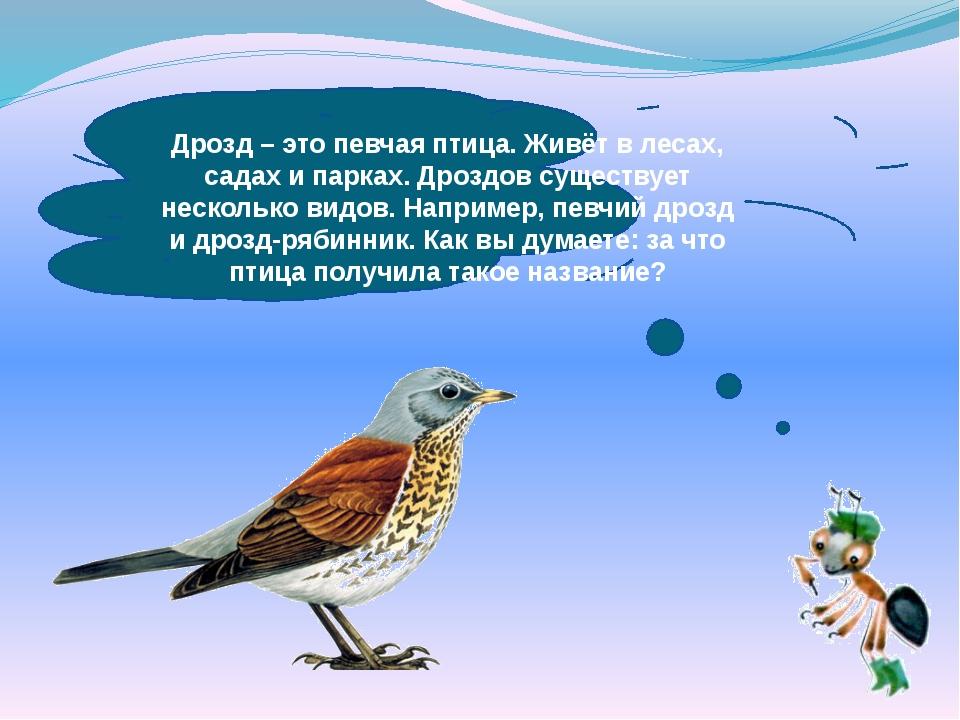 Дрозд – это певчая птица. Живёт в лесах, садах и парках. Дроздов существует...