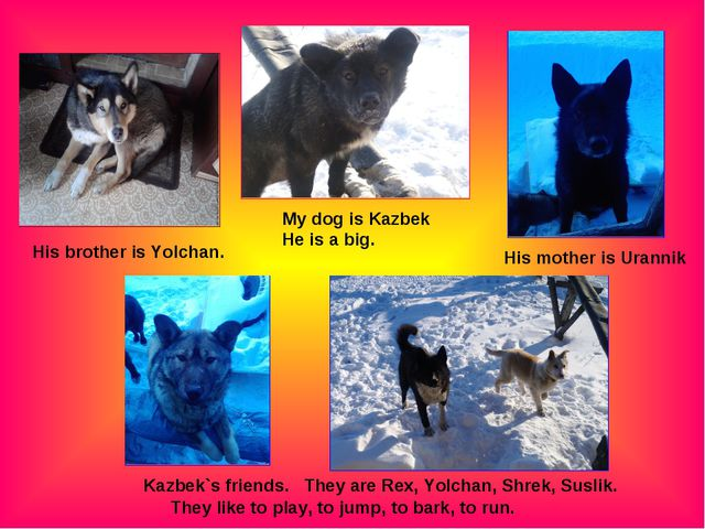 My dog is Kazbek He is a big. His mother is Urannik His brother is Yolchan. K...