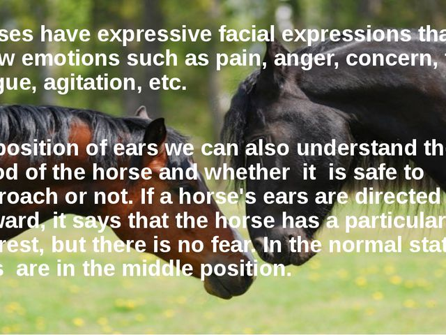 Horses have expressive facial expressions that can show emotions such as pain...