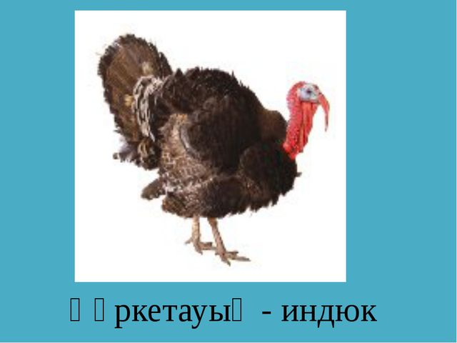 Қүркетауық - индюк