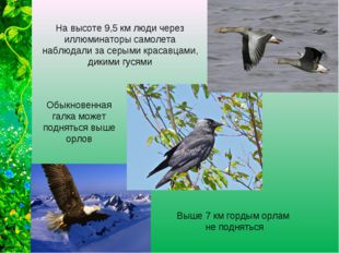 Выше 7 км гордым орлам не подняться Обыкновенная галка может подняться выше о