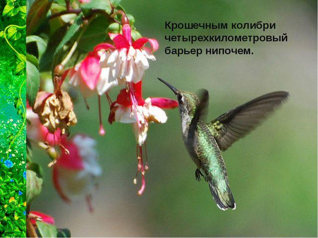 Крошечным колибри четырехкилометровый барьер нипочем.