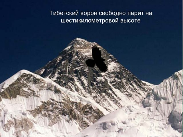 Тибетский ворон свободно парит на шестикилометровой высоте