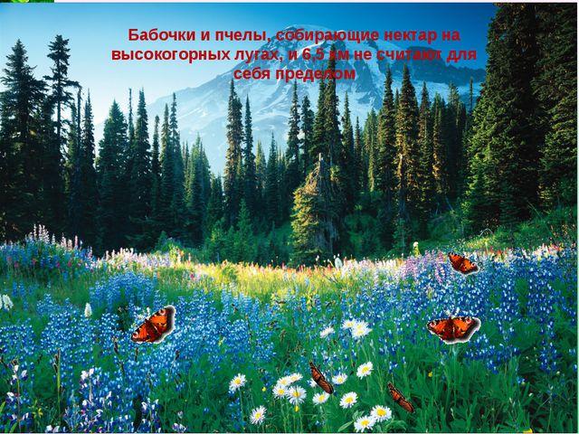 Бабочки и пчелы, собирающие нектар на высокогорных лугах, и 6,5 км не считают...
