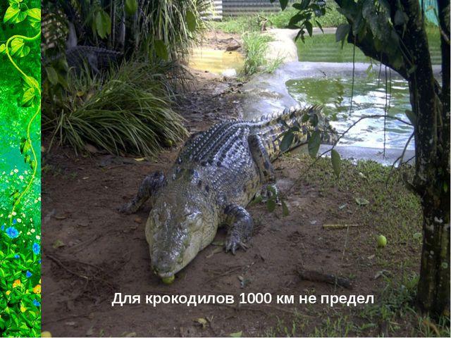 Для крокодилов 1000 км не предел