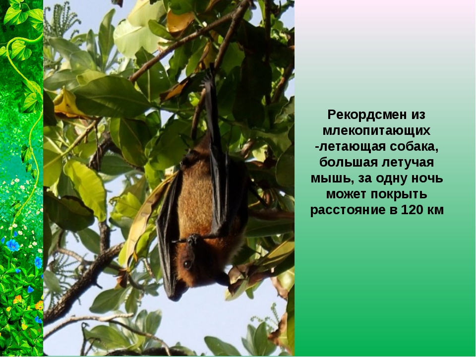 Рекордсмен из млекопитающих -летающая собака, большая летучая мышь, за одну н...