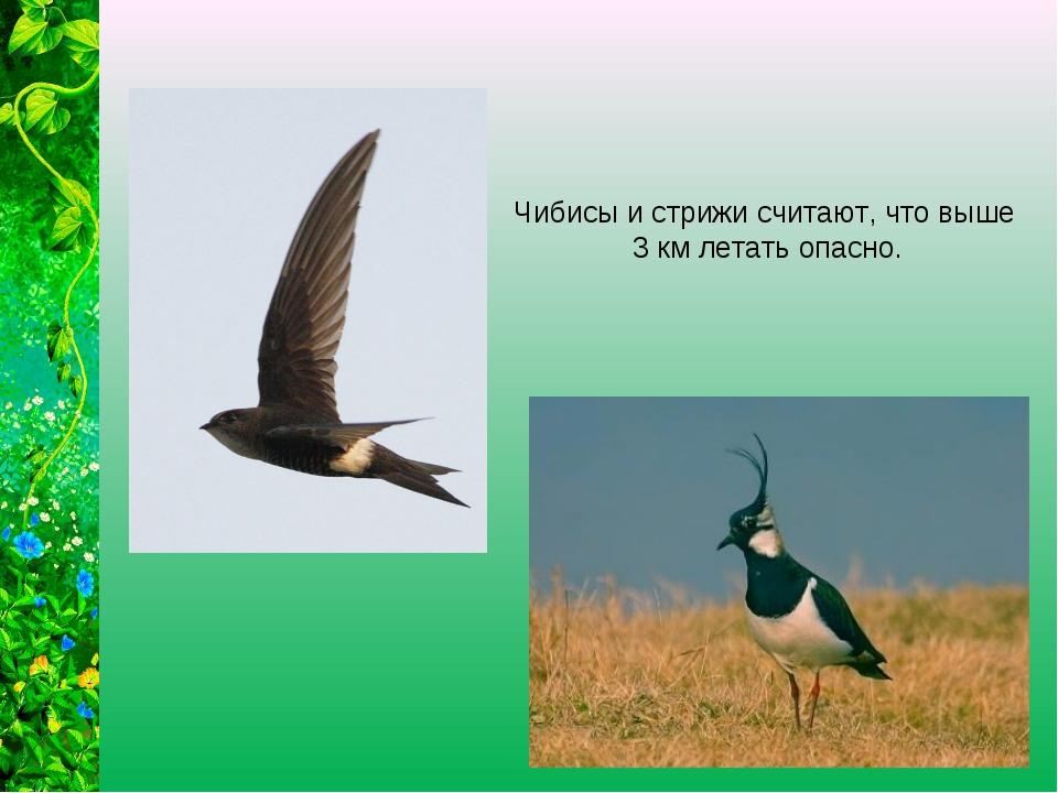 Чибисы и стрижи считают, что выше 3 км летать опасно.