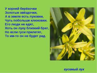 У корней берёзочки Золотые звёздочки, А в земле есть луковки, Чуть побольше к