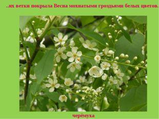 черёмуха ..их ветки покрыла Весна мохнатыми гроздьями белых цветов.