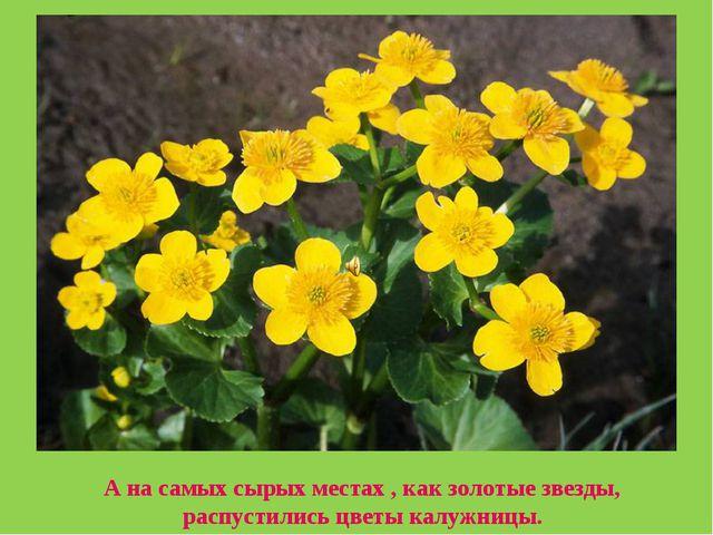 А на самых сырых местах , как золотые звезды, распустились цветы калужницы.