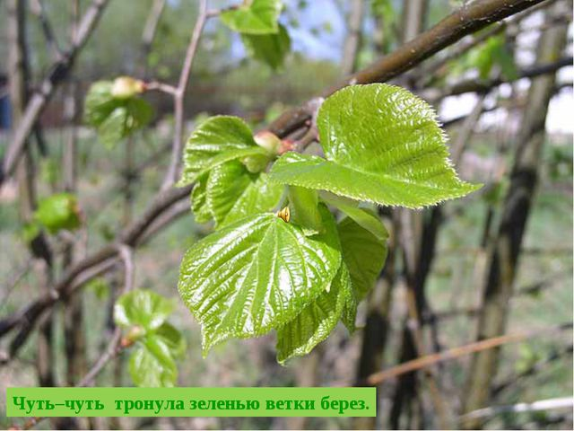 Чуть–чуть тронула зеленью ветки берез.