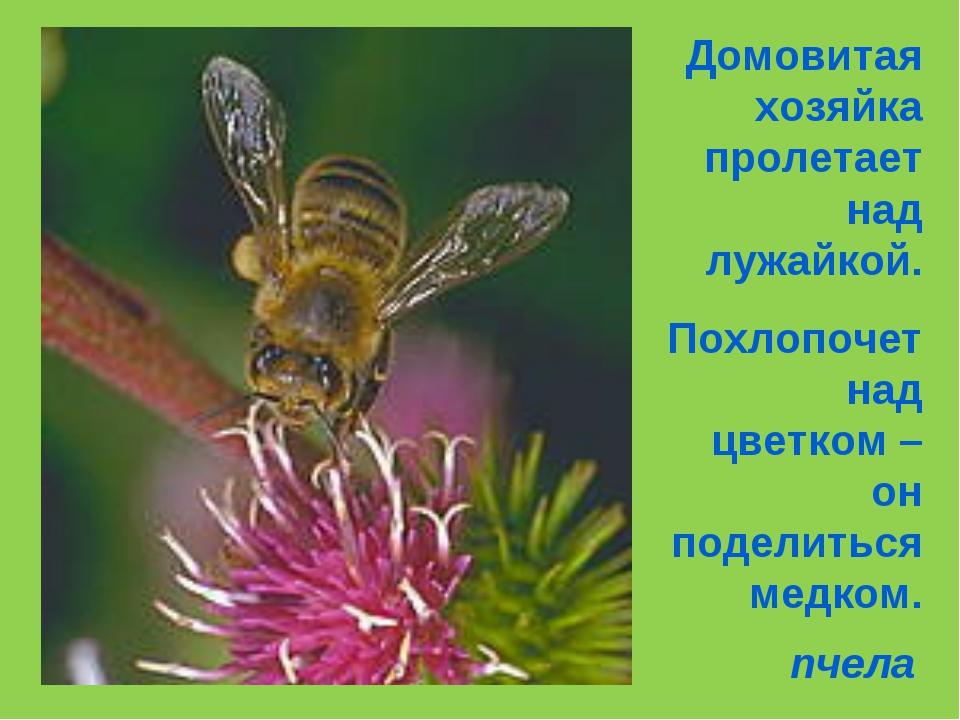 Домовитая хозяйка пролетает над лужайкой. Похлопочет над цветком –он поделить...