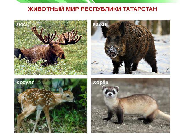 ЖИВОТНЫЙ МИР РЕСПУБЛИКИ ТАТАРСТАН Косуля Хорёк Лось Кабан