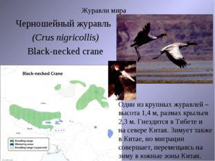 Журавли мира Черношейный журавль (Crus nigricollis) Black-necked crane Один и