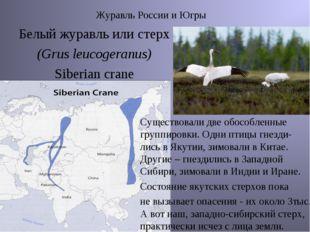 Журавль России и Югры Белый журавль или стерх (Grus leucogeranus) Siberian c