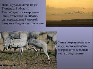 Наши журавли летят на юг Тюменской области. Там собираются в огромные стаи, о