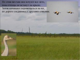 По этим местам они кочуют все лето, пока птенцы не встанут на крыло. Затем на
