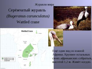 Журавли мира Серёжчатый журавль (Bugeranus carunculatus) Wattled crane Ещё од