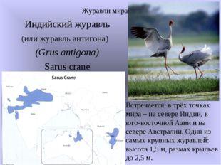 Индийский журавль (или журавль антигона) (Grus antigona) Sarus crane Журавли
