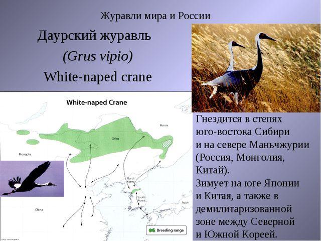 Журавли мира и России Даурский журавль (Grus vipio) White-naped crane Гнездит...