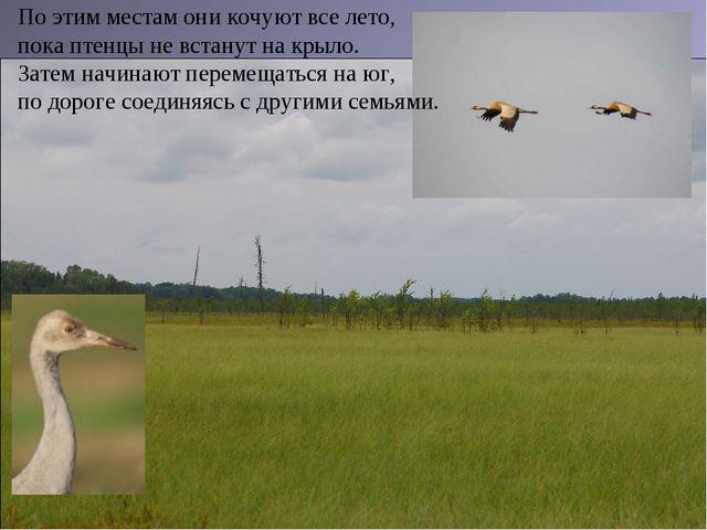 По этим местам они кочуют все лето, пока птенцы не встанут на крыло. Затем на...