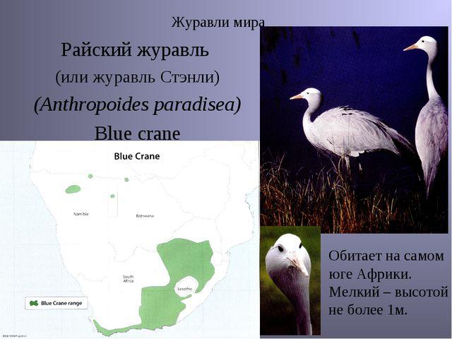Журавли мира Райский журавль (или журавль Стэнли) (Anthropoides paradisea) Bl...