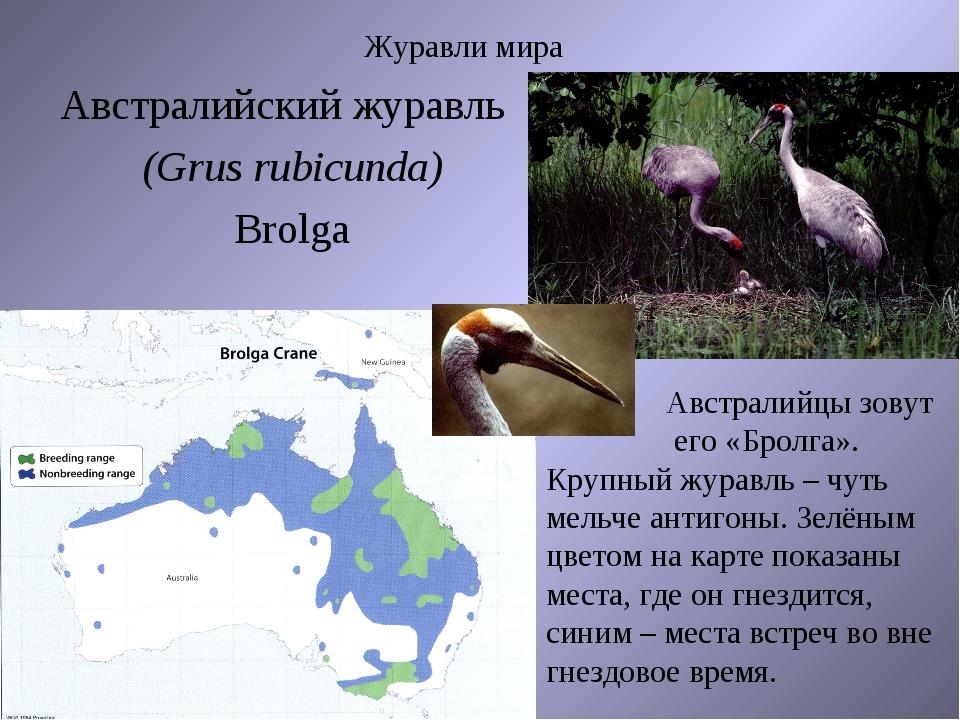 Журавли мира Австралийский журавль (Grus rubicunda) Brolga Австралийцы зовут...