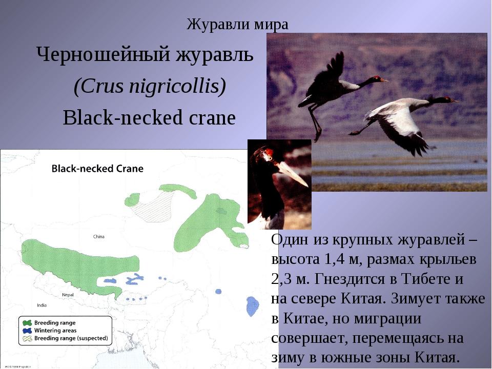 Журавли мира Черношейный журавль (Crus nigricollis) Black-necked crane Один и...