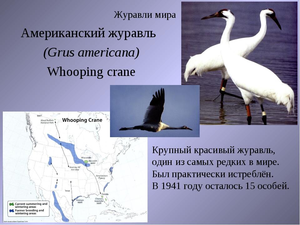 Журавли мира Американский журавль (Grus americana) Whooping crane Крупный кра...