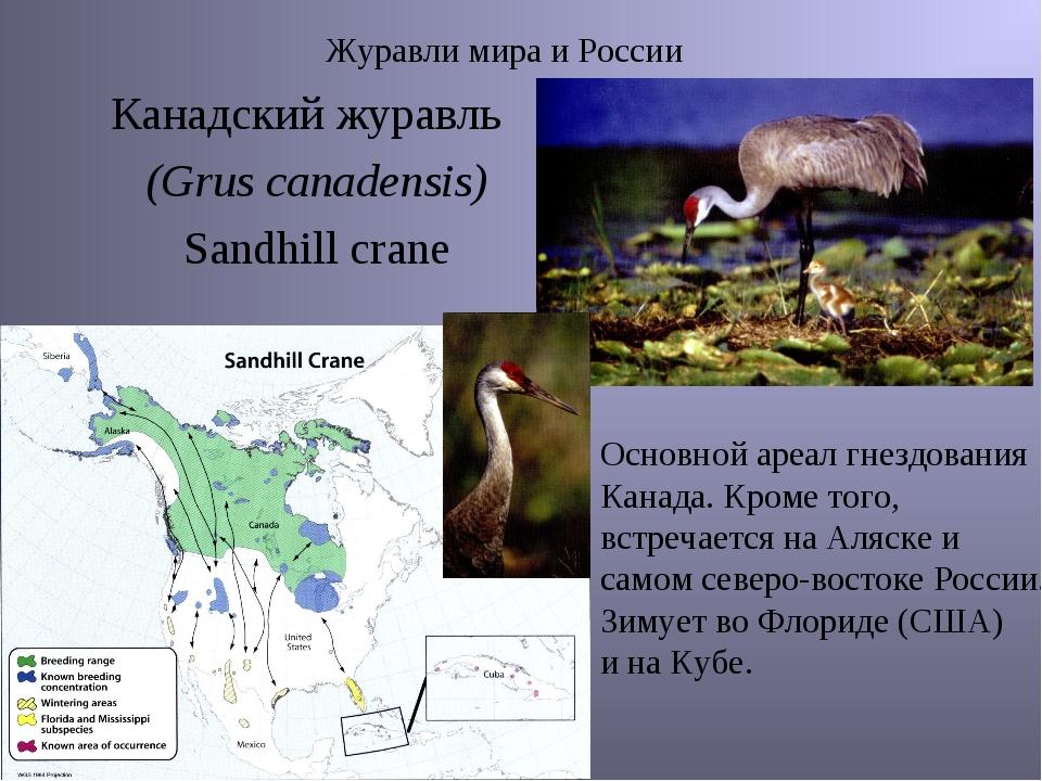 Журавли мира и России Канадский журавль (Grus canadensis) Sandhill crane Осно...