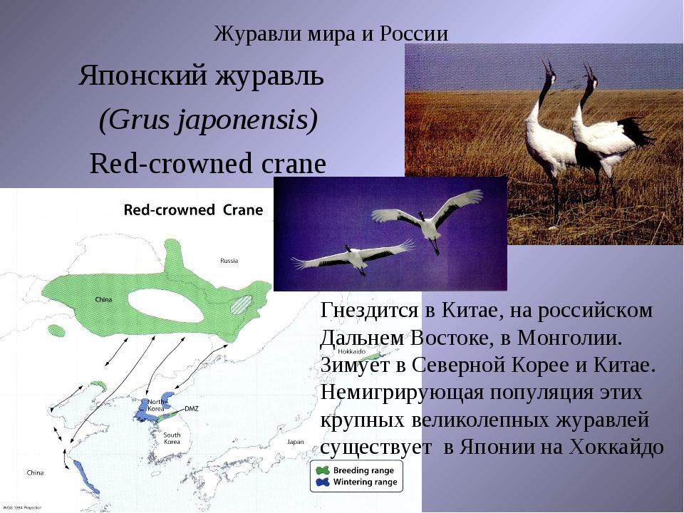 Журавли мира и России Японский журавль (Grus japonensis) Red-crowned crane Гн...
