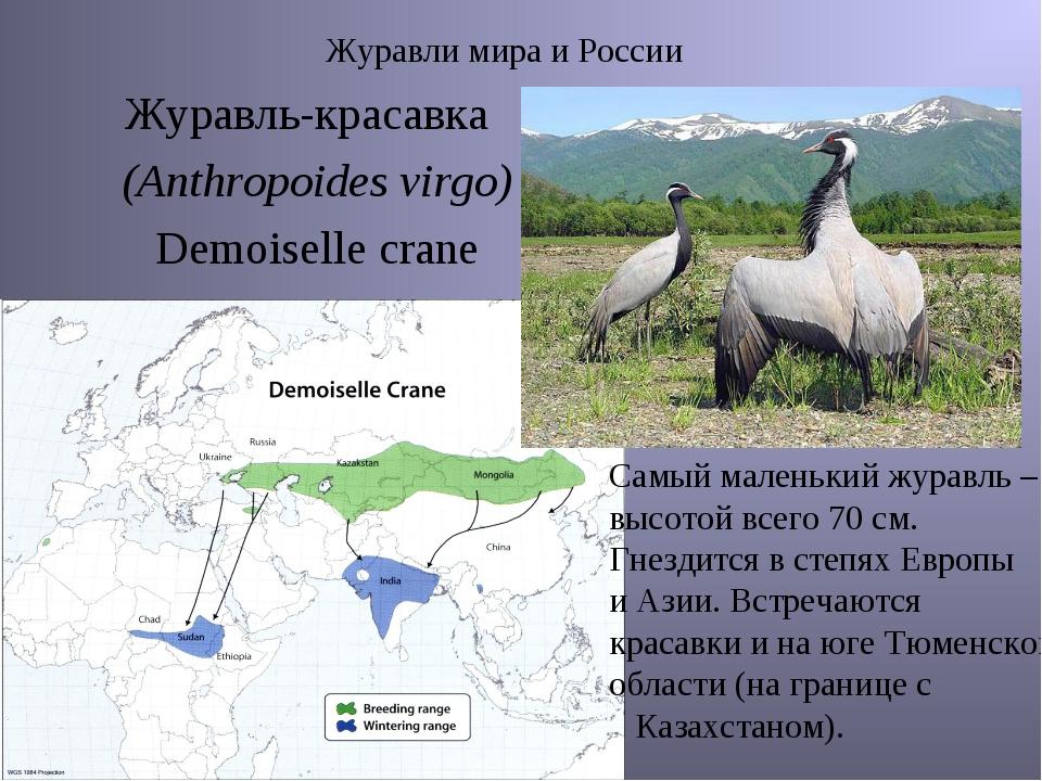 Журавли мира и России Журавль-красавка (Anthropoides virgo) Demoiselle crane...