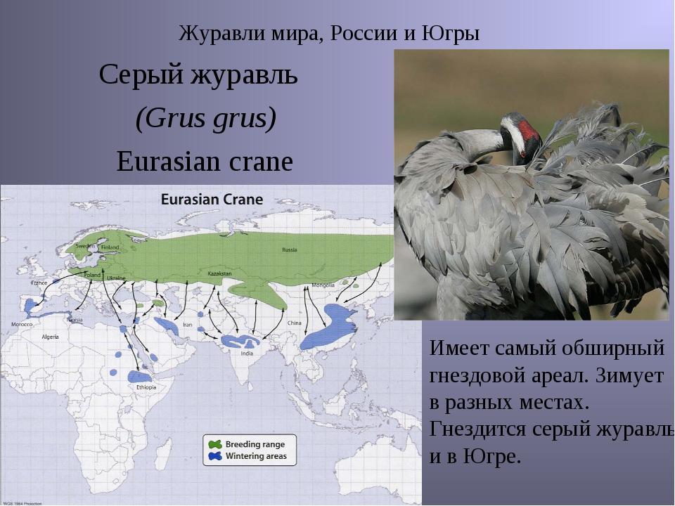 Журавли мира, России и Югры Серый журавль (Grus grus) Eurasian crane Имеет с...