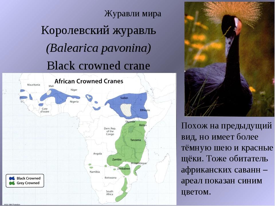 Журавли мира Королевский журавль (Balearica pavonina) Black crowned crane Пох...