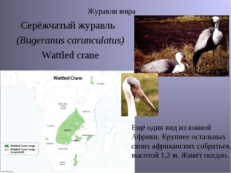 Журавли мира Серёжчатый журавль (Bugeranus carunculatus) Wattled crane Ещё од...