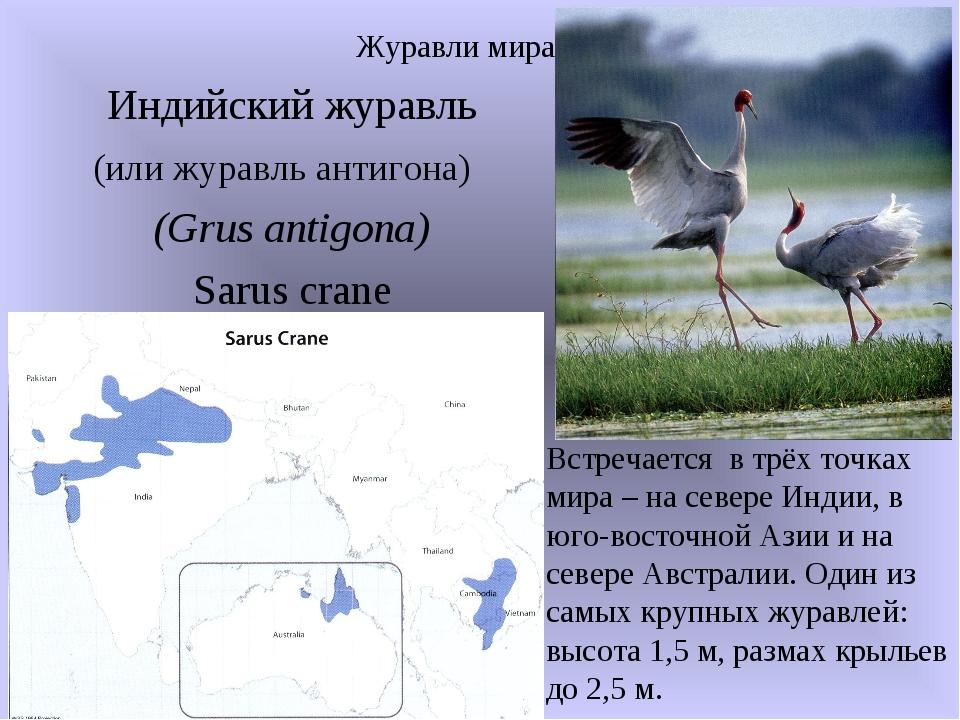 Индийский журавль (или журавль антигона) (Grus antigona) Sarus crane Журавли...
