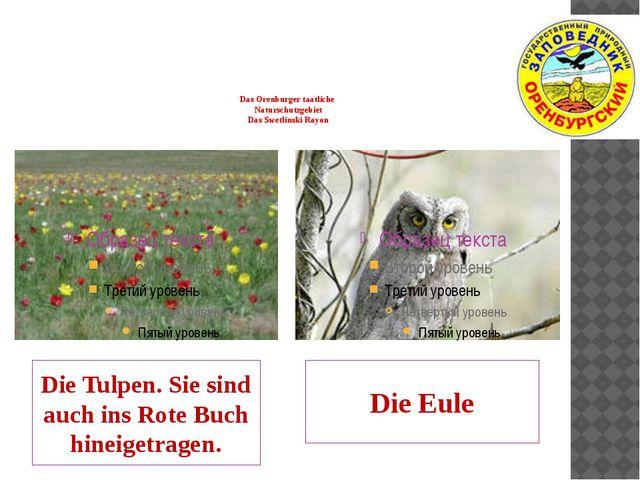 Das Orenburger taatliche Naturschutzgebiet Das Swetlinski Rayon Die Tulpen....