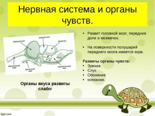 Нервная система и органы чувств. Развит головной мозг, передние доли и мозжеч