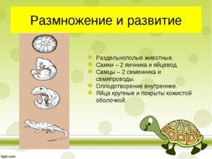 Размножение и развитие Раздельнополые животные. Самки – 2 яичника и яйцевод.