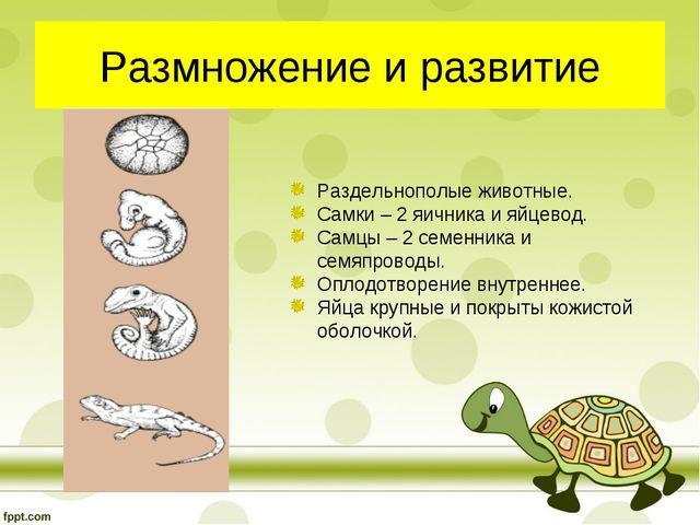 Размножение и развитие Раздельнополые животные. Самки – 2 яичника и яйцевод....