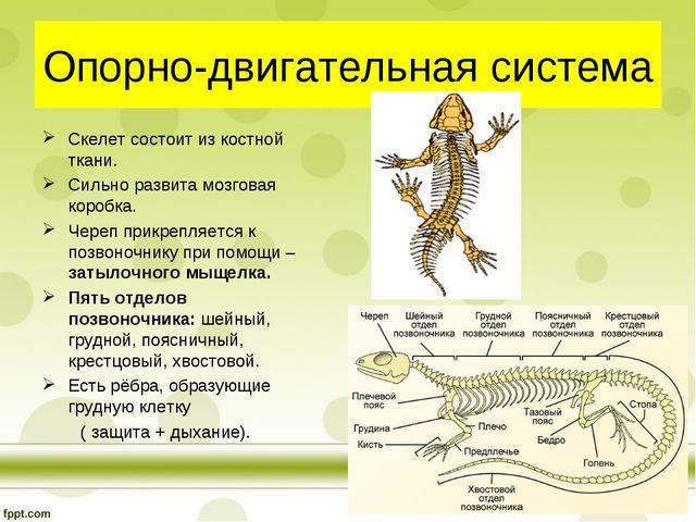 Опорно-двигательная система Скелет состоит из костной ткани. Сильно развита м...