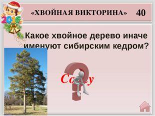 Секвойя 50 «ХВОЙНАЯ ВИКТОРИНА» Какие хвойные растения достигают в диаметре 12