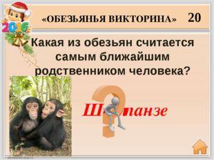 Как переводится слово «орангутанг»? 30 «ОБЕЗЬЯНЬЯ ВИКТОРИНА» Лесной человек