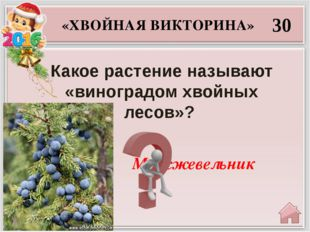 Сосну 40 «ХВОЙНАЯ ВИКТОРИНА» Какое хвойное дерево иначе именуют сибирским кед