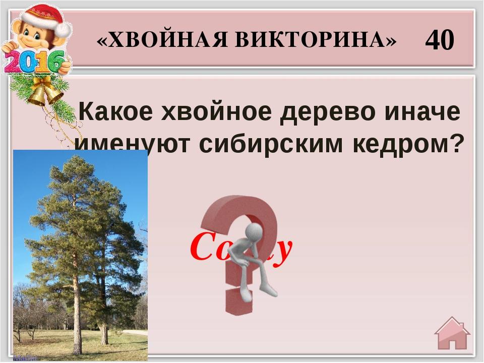 Секвойя 50 «ХВОЙНАЯ ВИКТОРИНА» Какие хвойные растения достигают в диаметре 12...