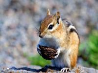 Фото Бурундук - Разные / Животные