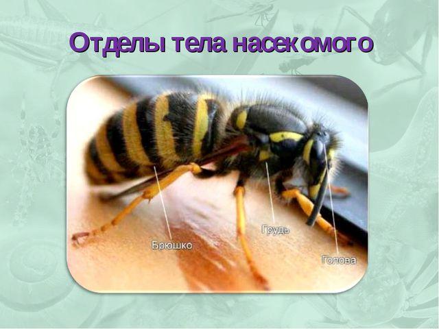 Отделы тела насекомого