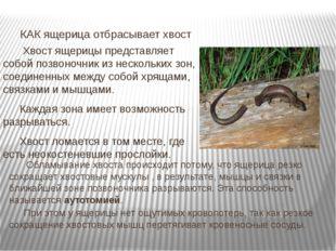 Хвост ящерицы представляет собой позвоночник из нескольких зон, соединенных